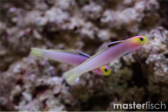 Helfrichs Firefish