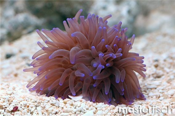 Purple milk anemone