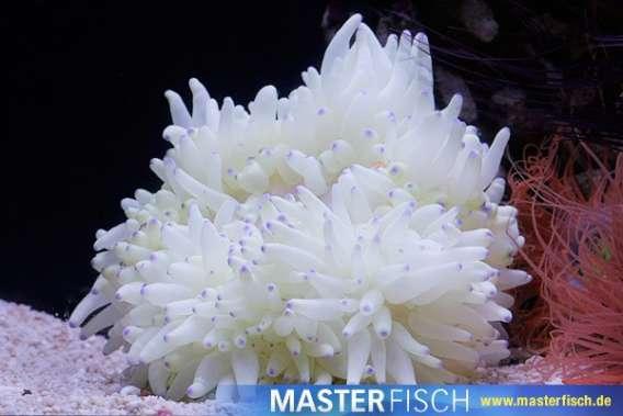 Hawaii-Anemone Weiss