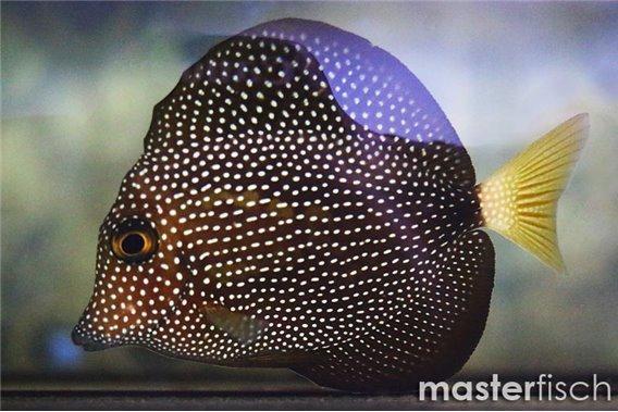 Gem Surgeonfish