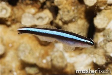 Goby - Neon (bred)