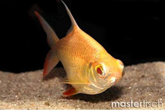 Golden Redtail Tinfoil Barb