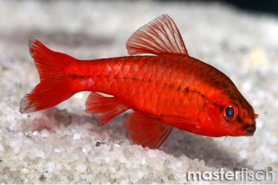 Cherry barb masterfisch uk for Cherry barb fish