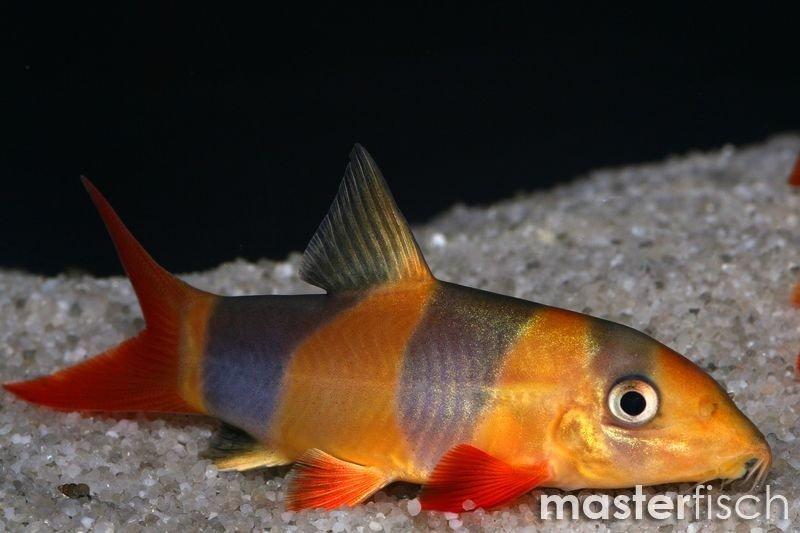 Clown loach masterfisch uk for Clown loach fish