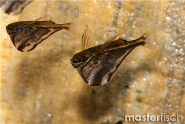 Masterfisch Buy Aquarium Fish Online Masterfisch Uk