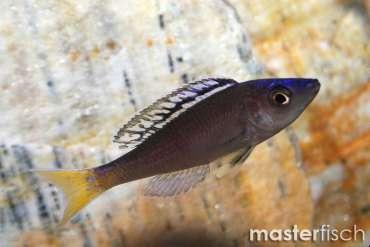 Tanganyika cichlids - Buy Freshwater fish for your aquarium