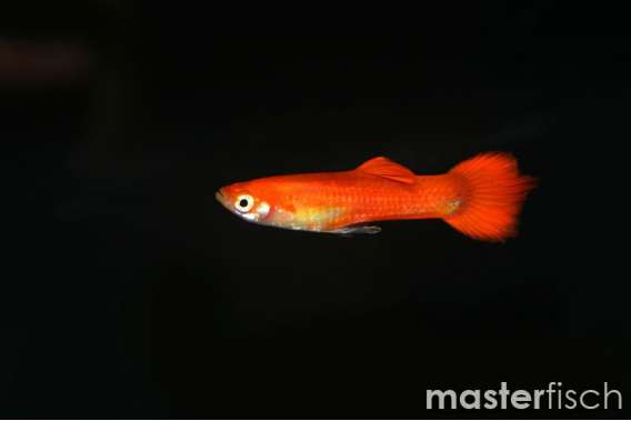 Red Blond Guppy (Female)