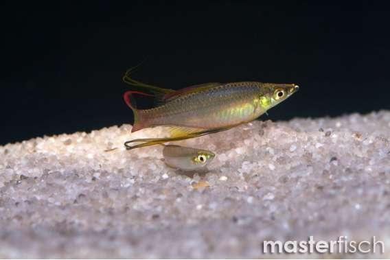 Threadfin rainbowfish