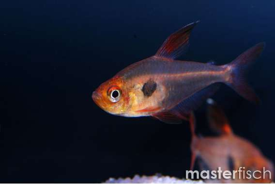 Red Ghost Tetra