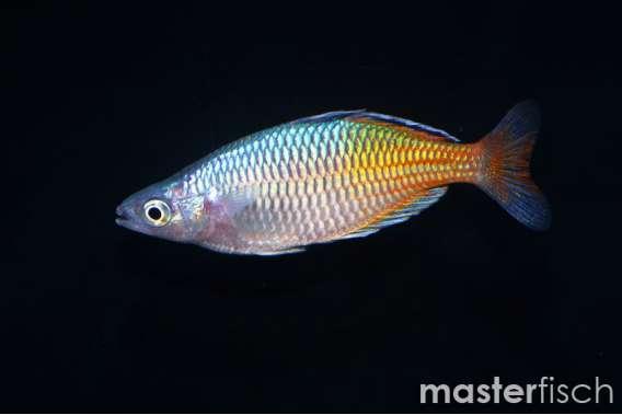 Boeseman'S Rainbow