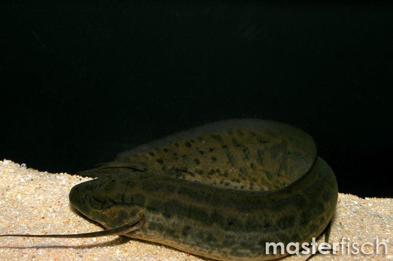 Marbled Lungfish Masterfisch Uk