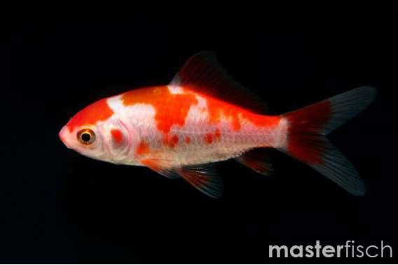 Sarasa Goldfish