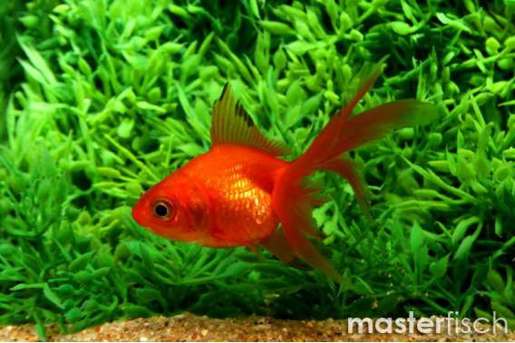 Red Fantail Goldfish - MasterFisch UK