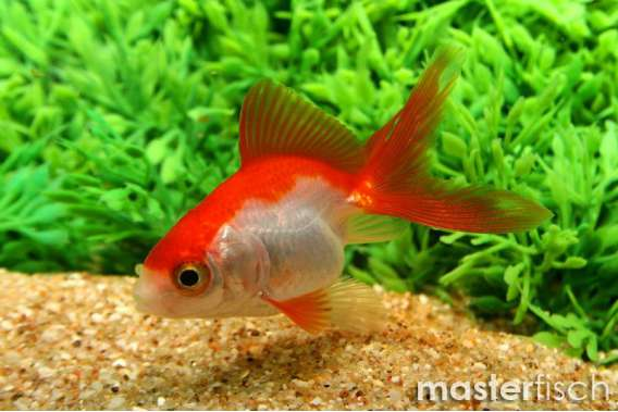 Red & White Fantail Goldfish - MasterFisch UK