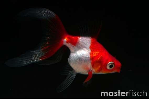 Mix Ryukin Goldfish