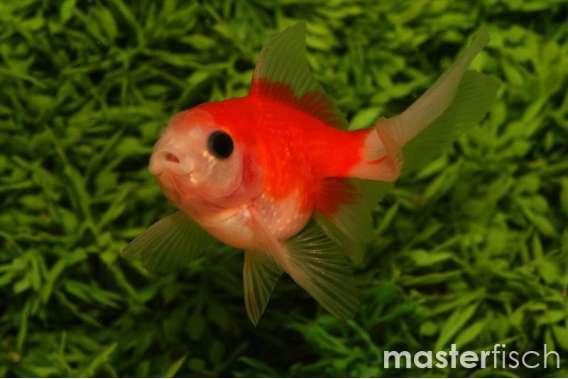 Pine Cone Fantail Goldfish