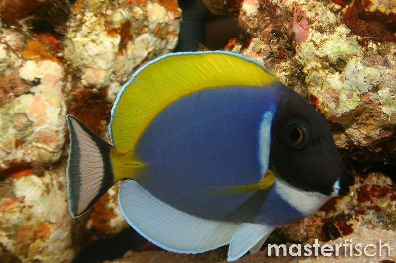 Powder blue tang masterfisch uk for Blue tang fish price