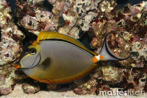 Indian Orange-spine Unicornfish