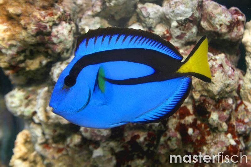 Blue tang masterfisch uk for Blue tang fish price