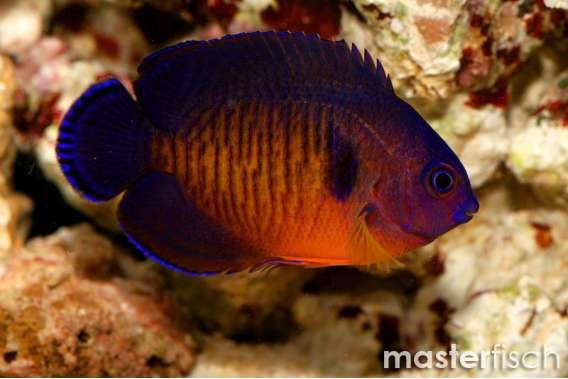 Coralbeauty Angelfish