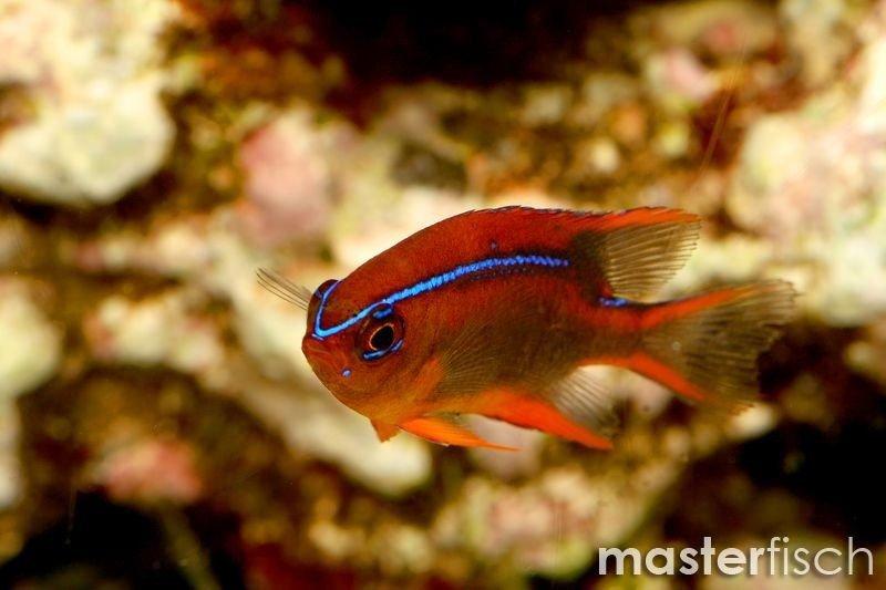 Blue Striped Red Damsel Juvenile Masterfisch Uk