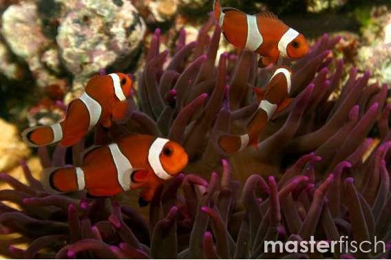 Clown Anemonefish (Clownfish) - wild caught