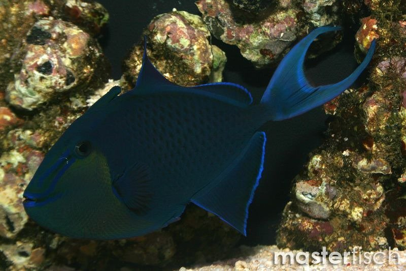 Redtooth Triggerfish Odonus Niger Online Shop Uk