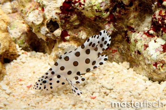Panther Grouper | Panther Grouper Masterfisch Uk