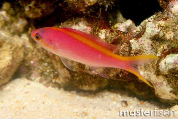 Purple Queen Anthias (Female - Yellowlined)