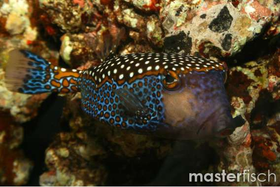 Spotted Boxfish Male