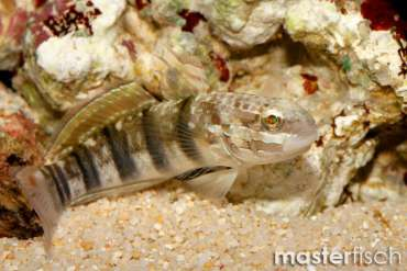 Brown-barred Goby