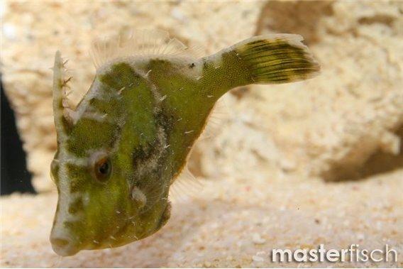 Matted Filefish (bred)