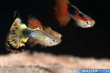 Assorted Guppy (Male)