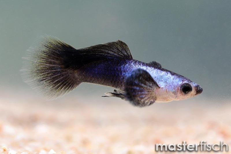 Endler guppy panda masterfisch uk for Endler guppy