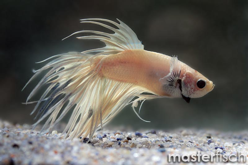 Betta crowntail white platinium - MasterFisch UK