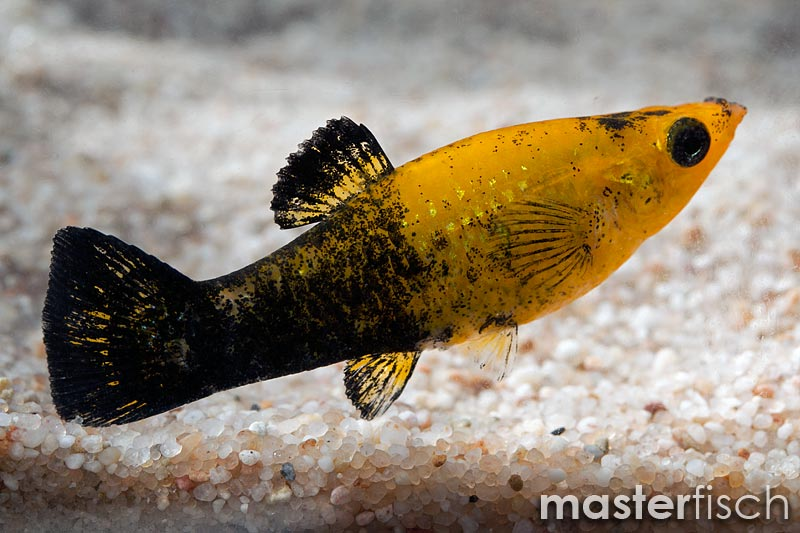 Tuxedo Molly Gold - MasterFisch UK Chemistry Reference Sheet