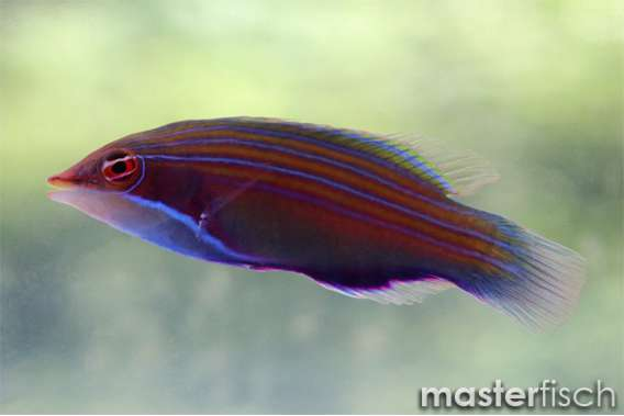 Four-lined wrasse
