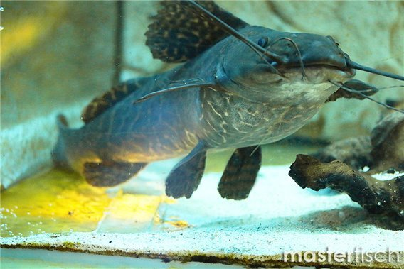 Leopard Catfish (40-45 cm) WYSIWYG
