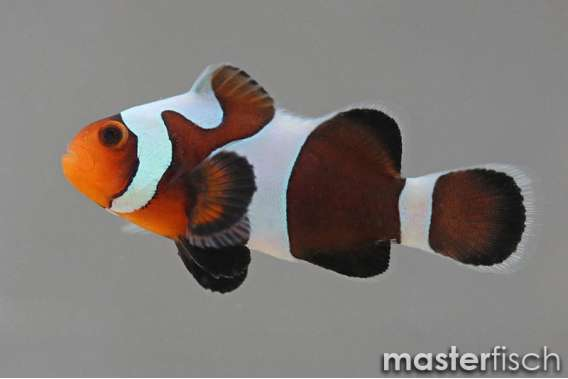 Clownfish Black gladiator
