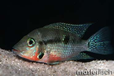 American cichlids - Buy Freshwater fish for your aquarium