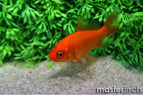Mix Goldfish