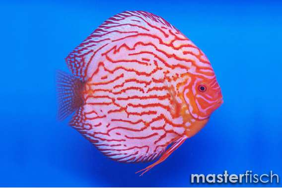 Stendker Discus Pigeon blood blue