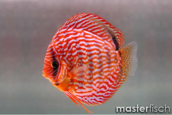 Stendker Discus Red Turquoise