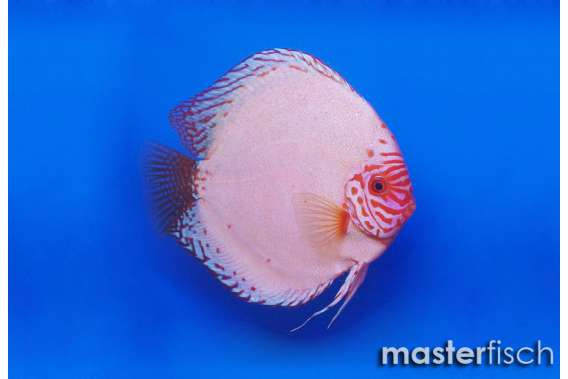 Stendker Discus Pigeon Blood silver