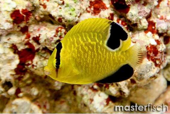 Goldspotted angelfish