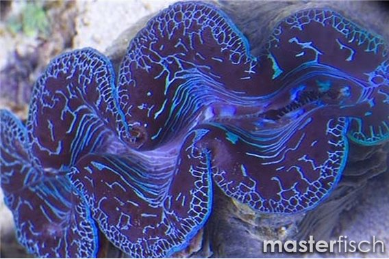 Maxima blue clam (cultured)