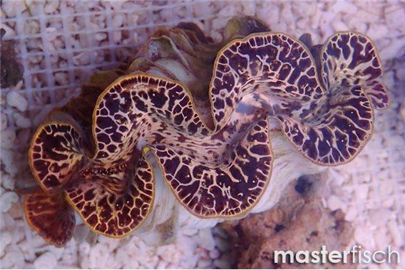 Maxima gold clam (cultured)