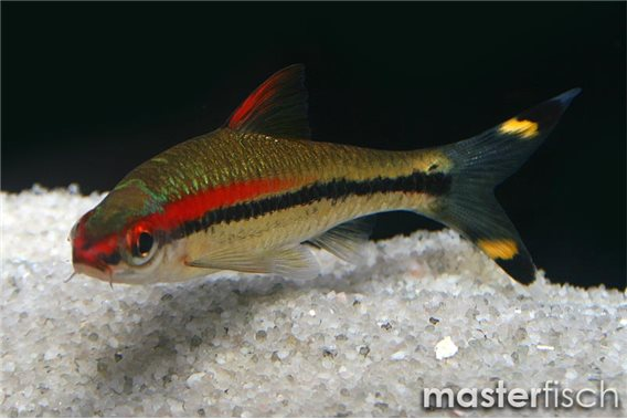 Red-Lined Torpedo Barb