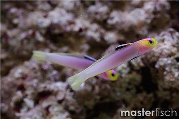 Eleotridae