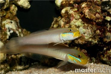 Blennies and Gobies